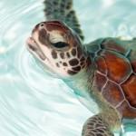 Filhote de tartaruga (Foto: Divulgação)