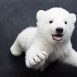 Filhote de urso polar (Foto: Divulgação)