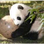 Filhote de panda brincando (Foto: Divulgação)