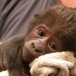 Filhote de gorila (Foto: Divulgação)