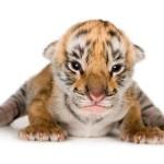 Filhote de tigre (Foto: Divulgação)