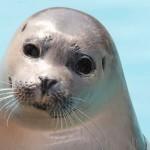 Filhote de foca (Foto: Divulgação)