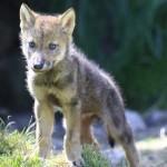 Filhote de lobo (Foto: Divulgação)