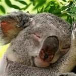 O coala é um dos maiores dorminhocos do reino animal (Foto: Divulgação)