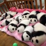 Família panda durante o cochilo (Foto: Divulgação)