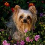 Os Yorks são cachorros refinados e dão a ideia de que seus donos são pessoas afortunadas (Foto: Divulgação)