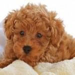 Os poodles ruivos são variações de cruzas entre poodles marrons (Foto: Divulgação)