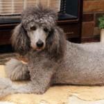 O poodle cinza também é uma interessante variação de cores (Foto: Divulgação)