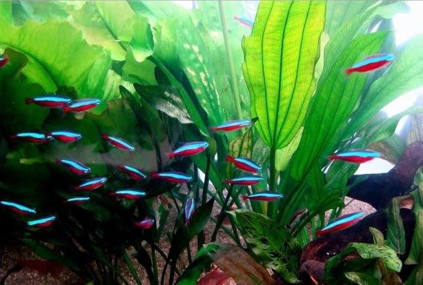 Peixes para aquário pequeno: dicas