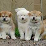 Cão raça Akita: quanto custa, preços