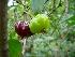 Benefícios do chá da folha de pitanga