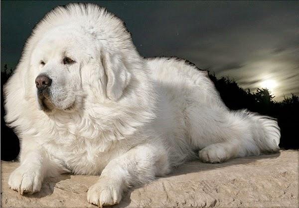 Raça Mastiff Tibetano preço, fotos