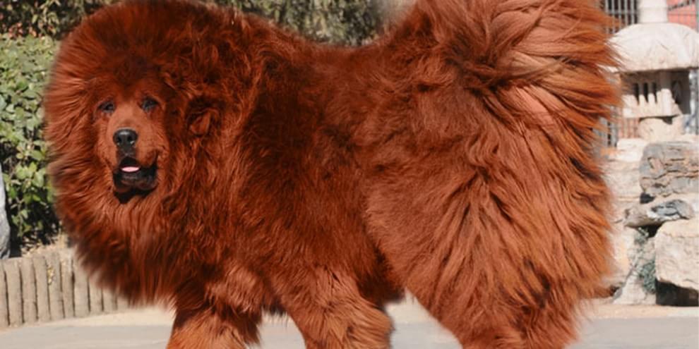 Raça Mastiff Tibetano: preço, fotos