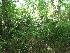 Palmito: Fruto da Palmeira