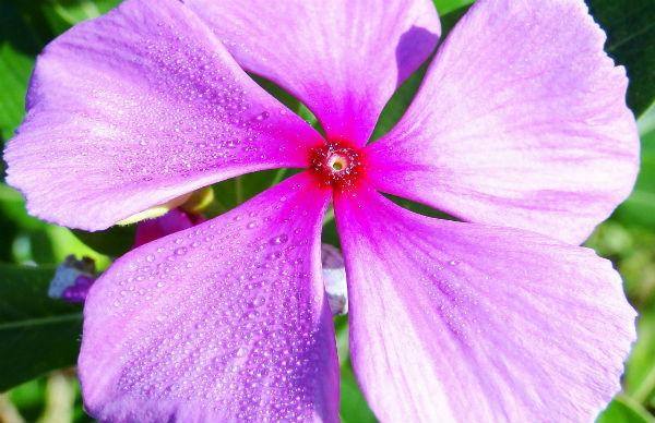 Plantas que Florescem o ano todo maria sem vergonha