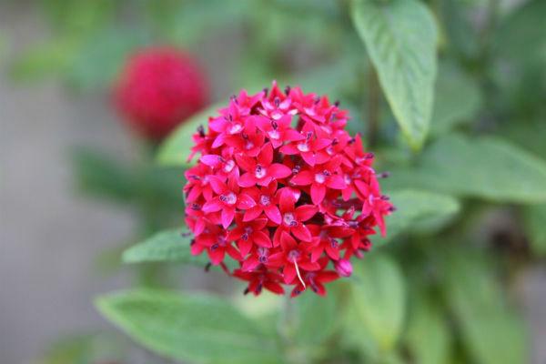 Plantas que Florescem o ano todo pentas