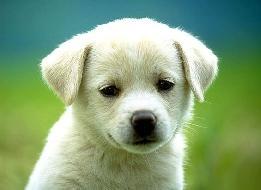 598838-100-raças-de-cães-a-z