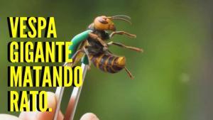 vespa gigante matando rato