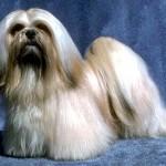 213848 raça de cachorro 3 150x150 Raças de Cachorros Pequenos   Fotos