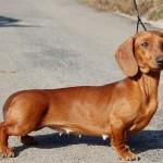 213848 raça de cachorro 4 150x150 Raças de Cachorros Pequenos   Fotos
