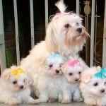 213848 raça de cachorro maltez 1 150x150 Raças de Cachorros Pequenos   Fotos