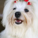 213848 raça de cachorro maltez 150x150 Raças de Cachorros Pequenos   Fotos