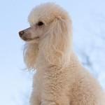 213848 raça de cachorro poodle 150x150 Raças de Cachorros Pequenos   Fotos