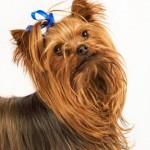213848 raça de cachorro yorkshire 1 150x150 Raças de Cachorros Pequenos   Fotos