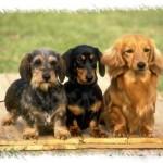 213848 raça de cachorro2 150x150 Raças de Cachorros Pequenos   Fotos