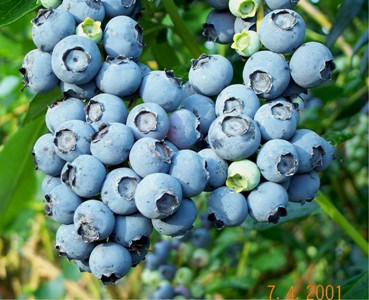 245549 Frutas Silvestres 2 Frutas Silvestres   Quais São