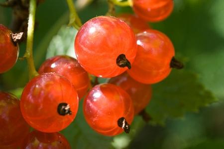245549 Frutas Silvestres 3 Frutas Silvestres   Quais São