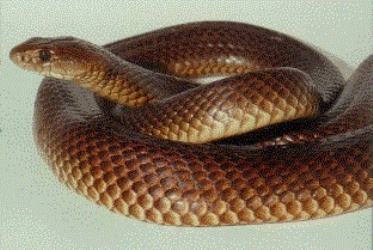 266991 conheça as cobras mais venenosas do mundo 1 Conheça as Cobras mais Venenosas do Mundo