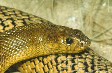 266991 conheça as cobras mais venenosas do mundo Conheça as Cobras mais Venenosas do Mundo
