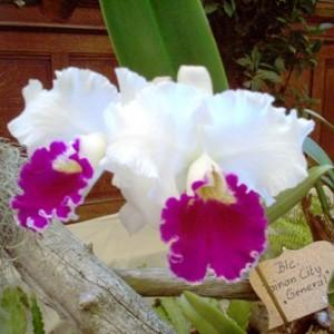 273067 Orquideayy 300x300 Exposições de Orquídeas no Brasil