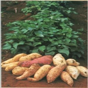 274558 batata doce 3 300x300 Os benefícios da batata doce para saúde