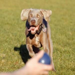 278209 cães saudaveis exercicios para cachorros 300x300 Cães saudáveis: exercícios para cachorros