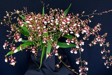 279981 Orquídea Onc. Sharry Baby com cheiro de chocolate Decoração Da Casa Com Orquídeas