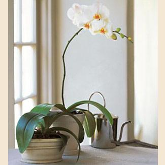 279981 orquídea em vaso Decoração Da Casa Com Orquídeas