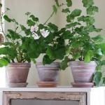 30084 plantas dentro de casa2 150x150 Plantas que Ajudam Acabar com a Poluição em Casa