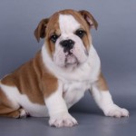 30616 Bullgog inglês 150x150 Fotos de cachorros de raça