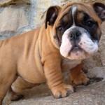 30616 Bullgog ingles 150x150 Fotos de cachorros de raça