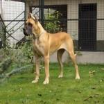 30616 Dogue Alemão Fotos 150x150 Fotos de cachorros de raça