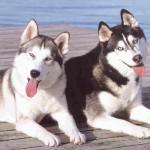 30616 Husky siberiano 1 150x150 Fotos de cachorros de raça