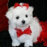 30616 Maltês filhote 150x150 Fotos de cachorros de raça