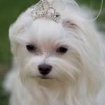 30616 Maltes 150x150 Fotos de cachorros de raça