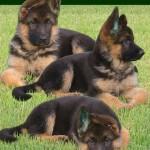 30616 Pastor Alemao filhote 150x150 Fotos de cachorros de raça