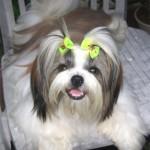 30616 Shih Tzu 150x150 Fotos de cachorros de raça