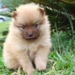 30616 Spitz alemão filhote 150x150 Fotos de cachorros de raça