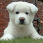 30616 akita filhote 150x150 Fotos de cachorros de raça