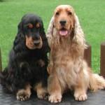 30616 cocker spaniel 150x150 Fotos de cachorros de raça